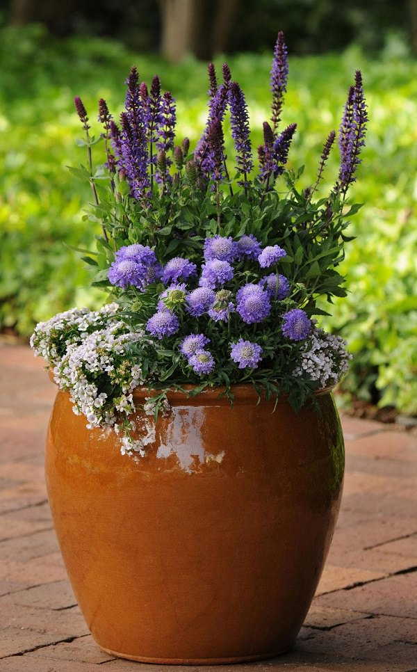Plantas de flor azul para cultivar en maceta :: Decogarden